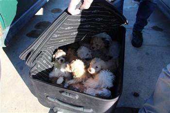 Gümrük Muhafaza, Kapıkule'de 14 köpek yavrusunu kaçakçıların elinden kurtardı